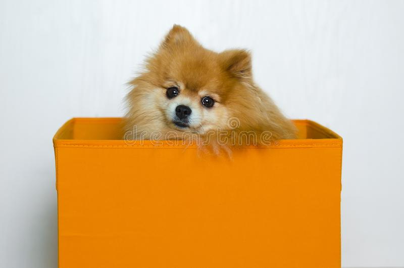 Dog sitting in orange box on white background. thoroughbred purebred Pomeranian spitz. animal shelter. royalty free stock photography