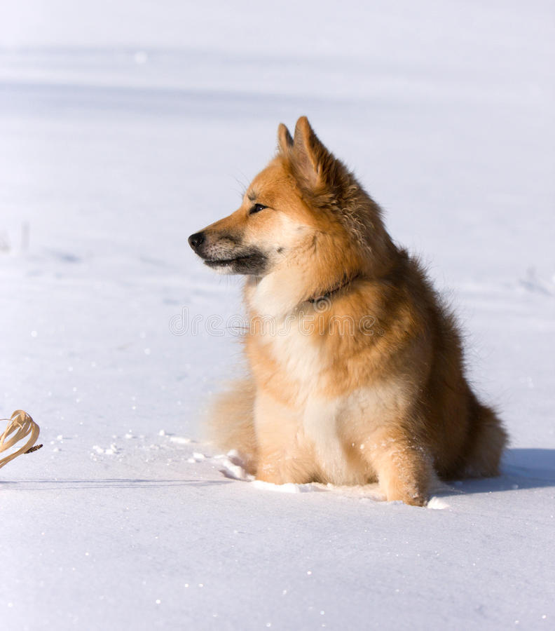 Download Dog sitting in the snow stock photo. Image of cute, spitz - 18059370