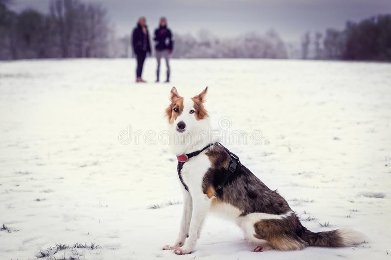 Dog sitting in the snow, two women in the background, winter season walk. Mixed breed dog sitting in the snow, two women in the background, winter season walk royalty free stock photos