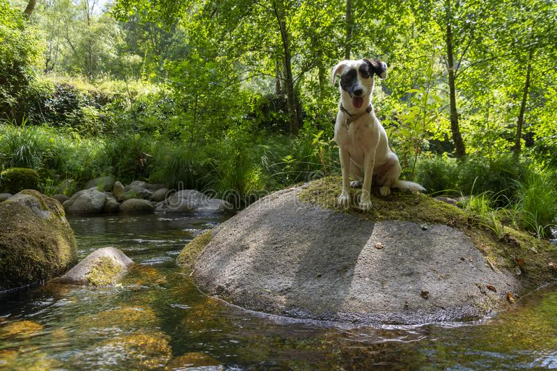 Dog on top of a rock with moss and forest stream. Gren vegetation in the river banks stock images