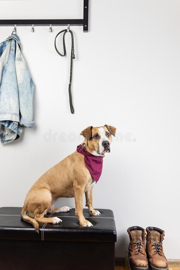 Dog sitting and waiting for a walk in entrance hall. royalty free stock images