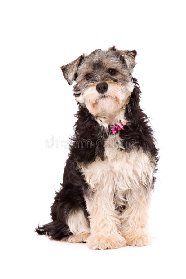 Dog sitting on a white surface. A dog, a crossbred between a Yorkshire terrier and a Shi Zu, sits on a white surface. The dog is isolated on white royalty free stock photography