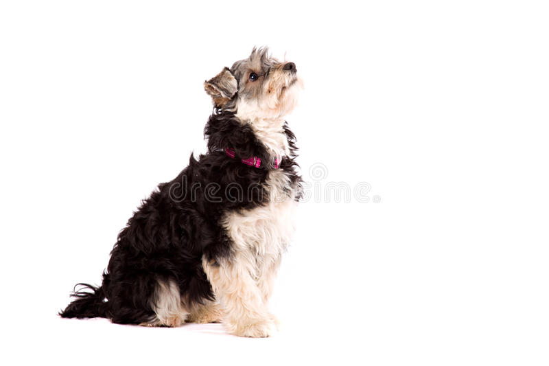 Dog sitting on a white surface. A dog, a crossbred between a Yorkshire terrier and a Shi Zu, sits on a white surface. The dog is isolated on white royalty free stock image