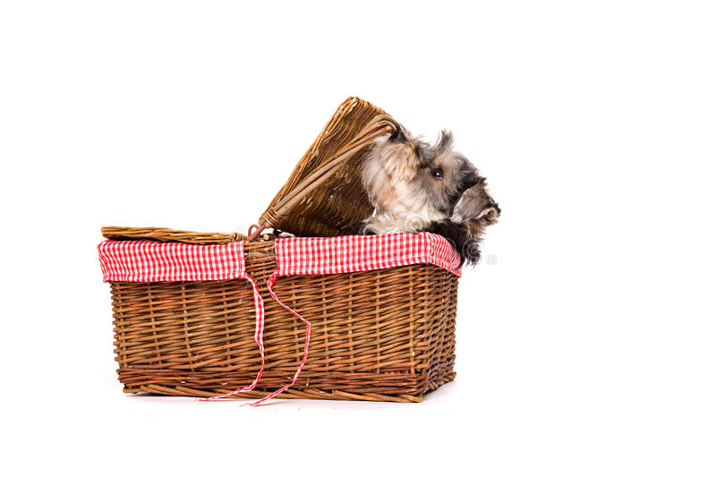Dog sitting on a white surface in a basket. A dog, a crossbred between a Yorkshire terrier and a Shi Zu, sits on a white surface in a basket. The dog and boots stock photos