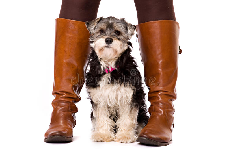 Dog sitting on a white surface between boots. A dog, a crossbred between a Yorkshire terrier and a Shi Zu, sits on a white surface between brown boots. The dog stock photos