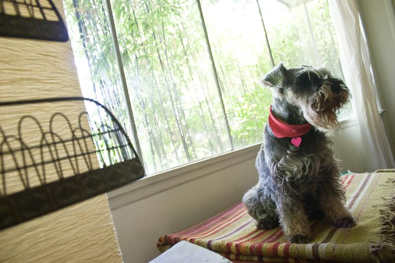 Dog Sitting in Window stock photography