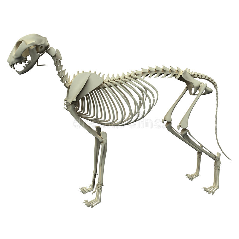 Dog Skeleton Anatomy Anatomy Of A Male Dog Skeleton Stock Photo