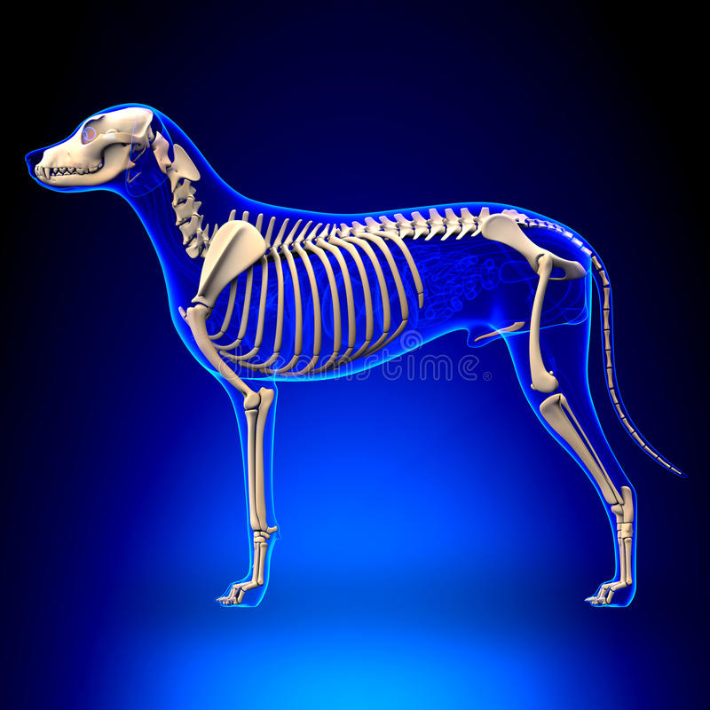 Dog Skeleton - Canis Lupus Familiaris Anatomy - side view royalty free stock photography