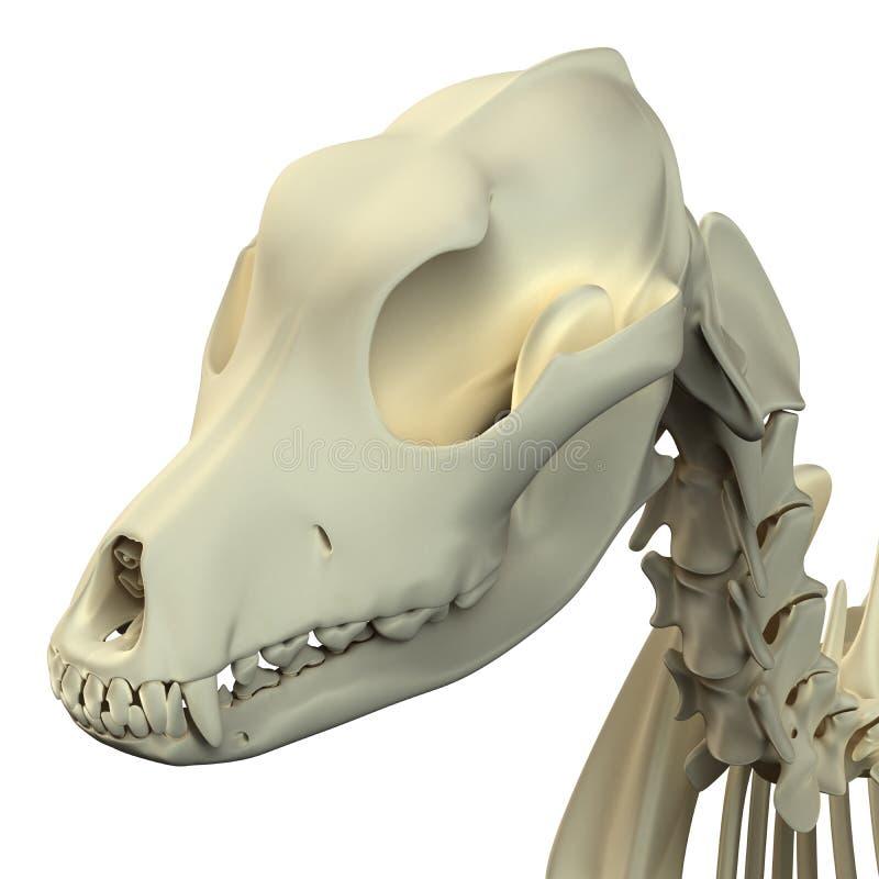 Dog Skull Anatomy - Anatomy Of A Male Dog Skull Stock Image - Image ...
