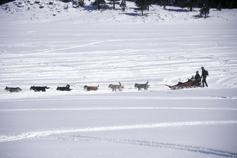 Dog släden i snö som är kolossal, CA royaltyfria foton