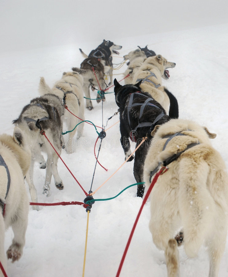 Dog Sled. Team pulling in Alaska