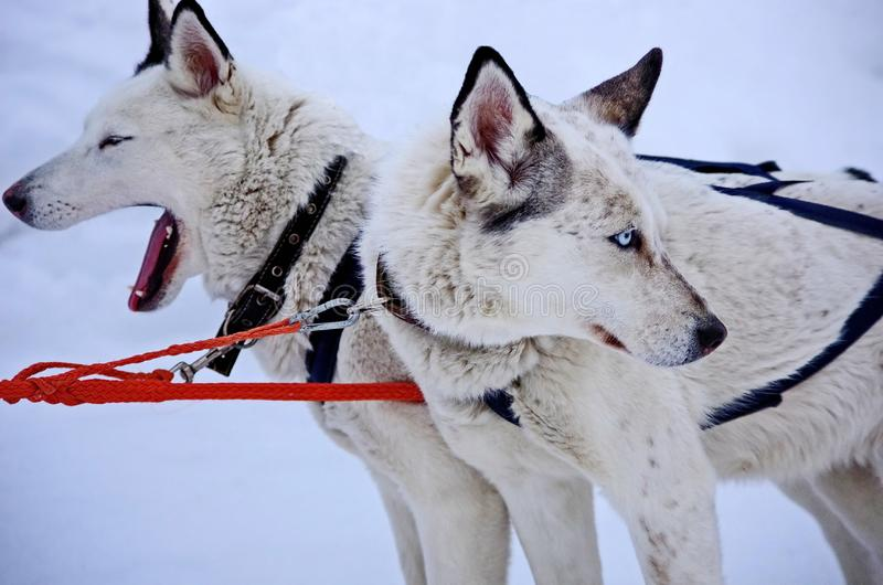 Dog sled. Alaskan Malamute is quite a large aboriginal type dog, designed to work in a team, one of the oldest breeds of dogs. stock images