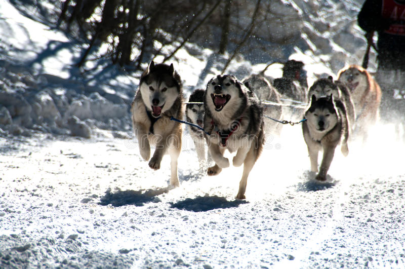 Dog Sled Race royalty free stock photos
