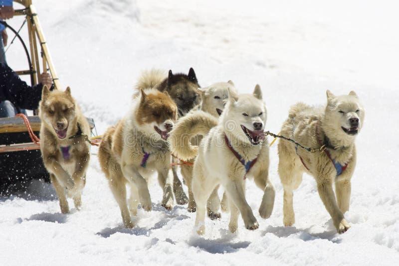 Dog-sledding stock photography