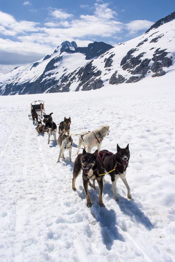 Download Dog Sledding Adventure stock photo. Image of icefield - 31802846