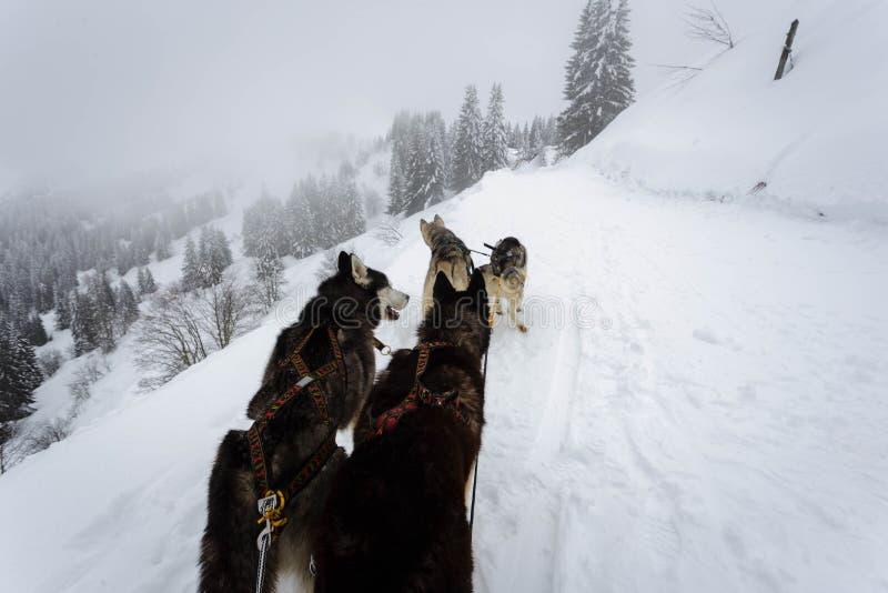 Dog Sledding in Avoiraz royalty free stock photography