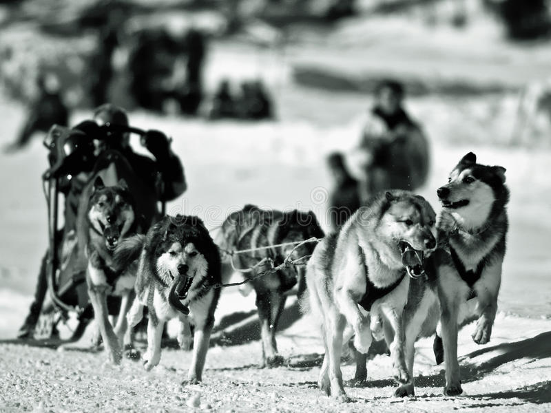 Download Dog sledging in Winter stock photo. Image of cold, rural - 13228836