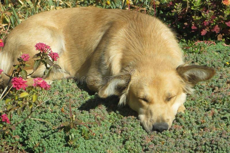 Dog. Sleep sanimal animal pet stock photos