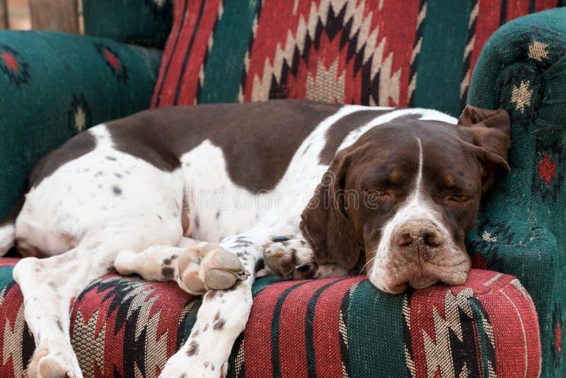 Dog on armchair stock photo. Image of australian ...