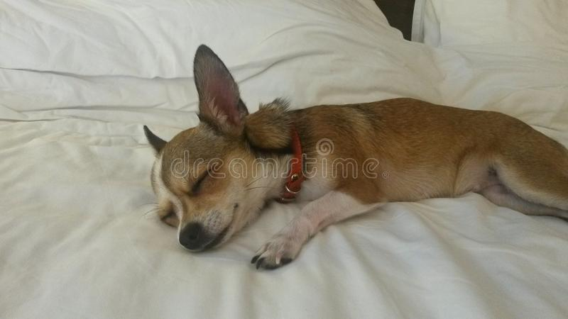 The dog is sleeping in bed stock images