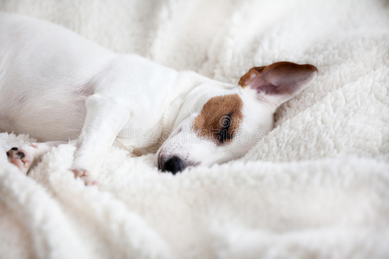 Dog sleeping on a bed royalty free stock photos