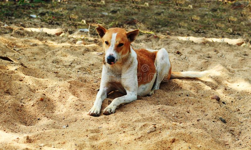 Dog is sleeping canidae in sand. Dog sleeping or rest over the sand canidae in the sand stock photo
