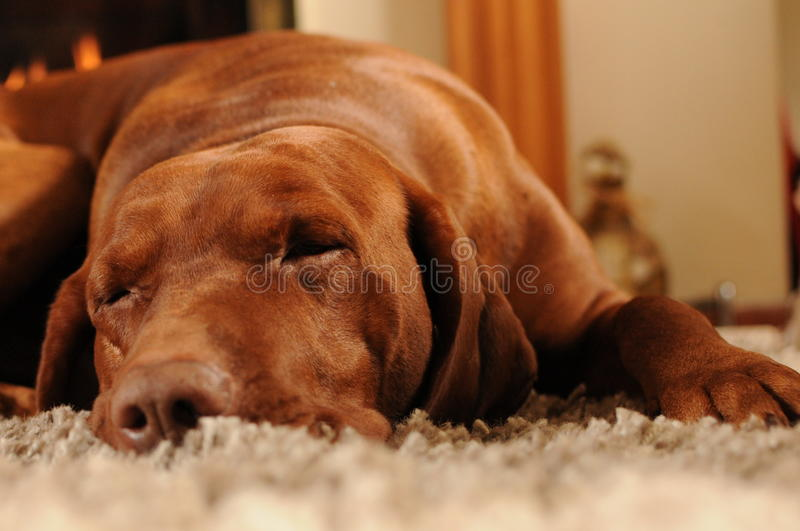 Dog sleeping on the carpet royalty free stock photos
