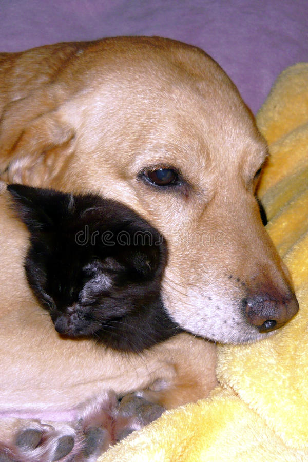 Dog Sleeping with Cat stock photos