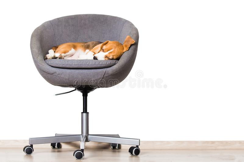 Dog sleeping in chair stock photography