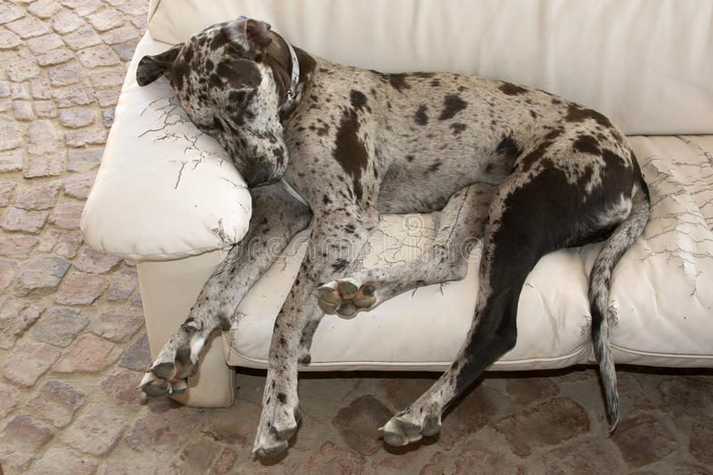 Dog sleeping on couch royalty free stock image