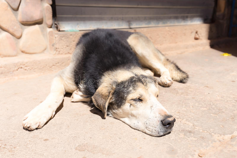 Dog sleeping cur scars exhausted tired floor street. royalty free stock photography