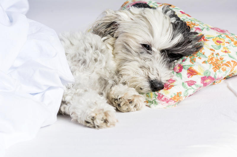 Dog sleeping on a pillow royalty free stock photo