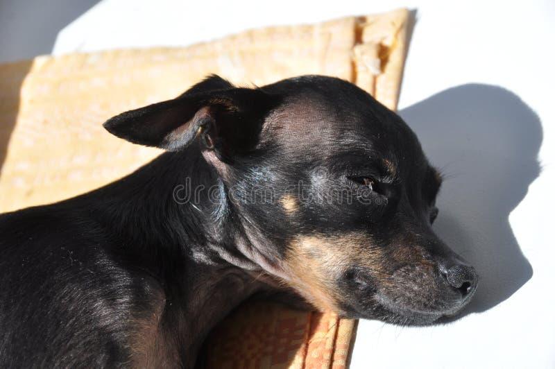 Dog sleeps stock photos