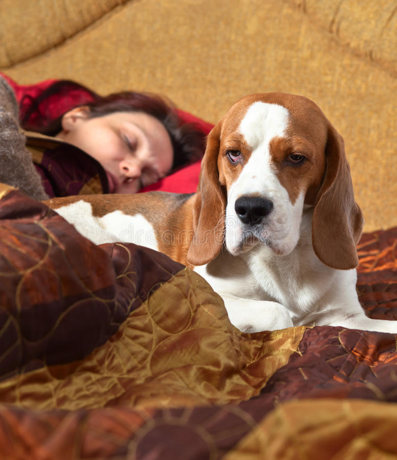 Dog sleeps on the bed with the mistress. The Beagle sleeps on the bed with the mistress, focus on a dog head royalty free stock photography