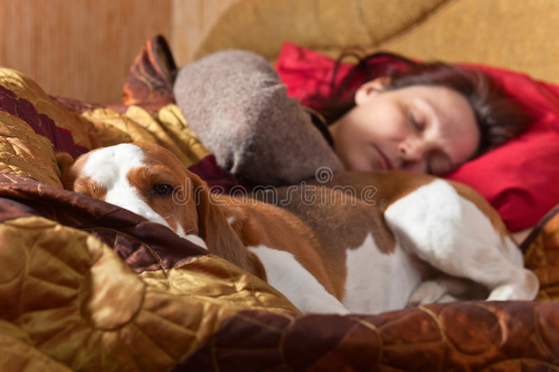Dog sleeps on the bed with the mistress. The Beagle sleeps on the bed with the mistress, focus on a dog head stock image
