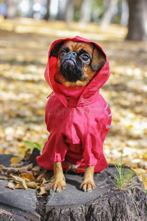 Dog small brabanson with chestnut color wearing in red overall. At autumn park royalty free stock image