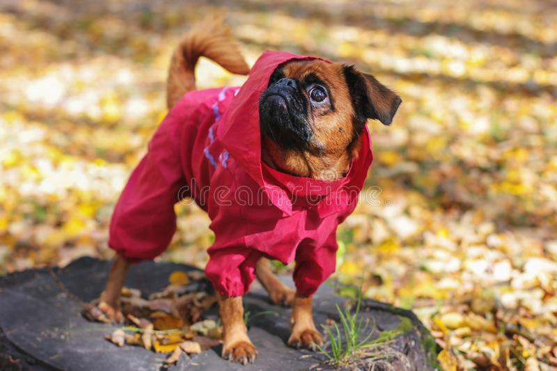 Dog small brabanson with chestnut color wearing in red overall. At autumn park stock photography