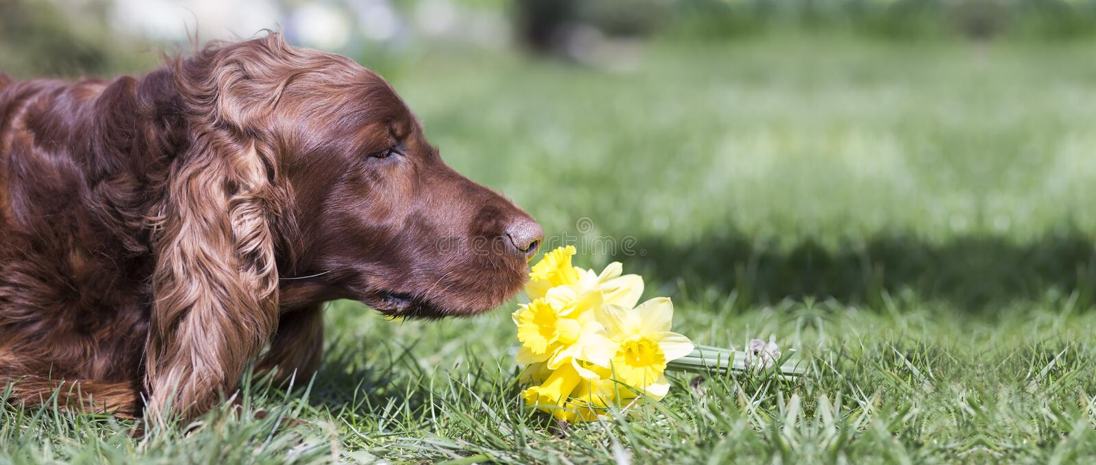 Dog smelling flower. Website banner of a happy Irish Setter dog as smelling flower stock photos