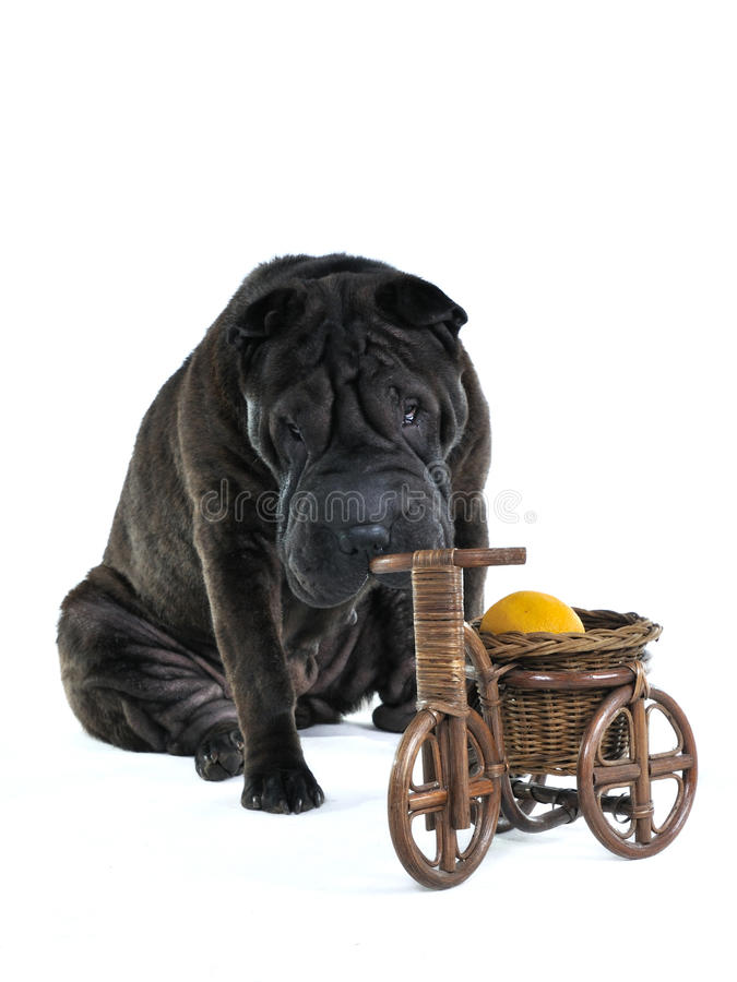 Dog Smelling Wooden Bycicle stock photo