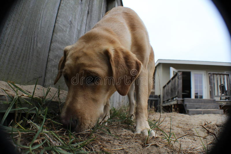 A dog smelling. A yellow lab smelling the ground stock photography