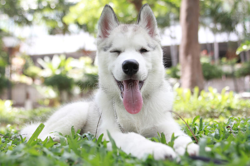 Dog Smile. Siberian Husky is a breed of dog that is popular. it is Smile royalty free stock photo