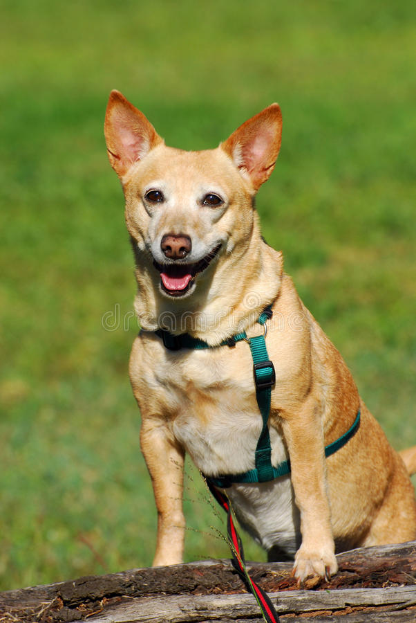 Little dog smiling. An attentive cute little crossbred dog standing up on a trunk and smiling in front of green grass background stock photo