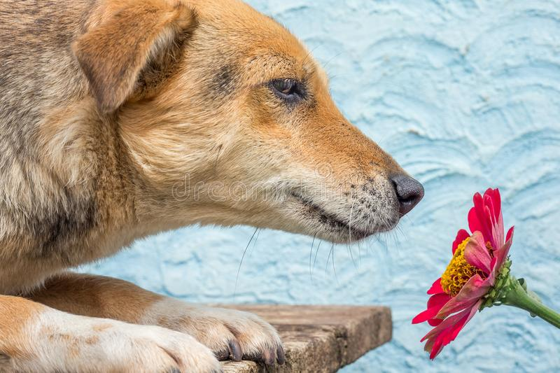 The dog sniffs the red zinnia flower. Dog near the red zinnia. A royalty free stock image