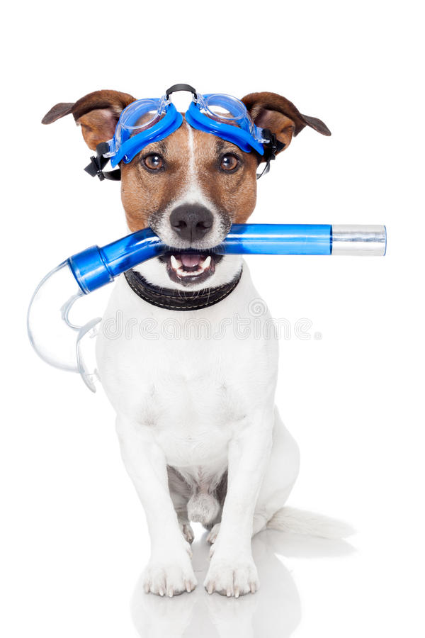 Dog with snorkel stock photography