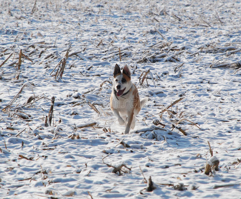 Download Dog in the Snow stock photo. Image of white, winter, cornfield - 23072858