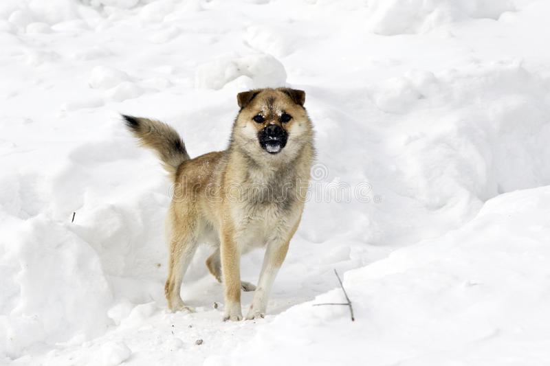 Dog and snow. Photo of a barking dog in the snow stock image