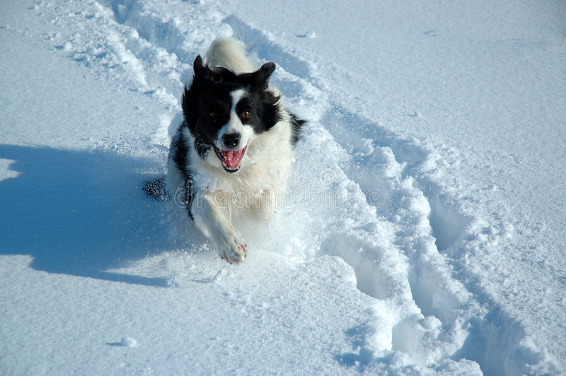 Download Dog in Snow stock photo. Image of running, farming, play - 650742