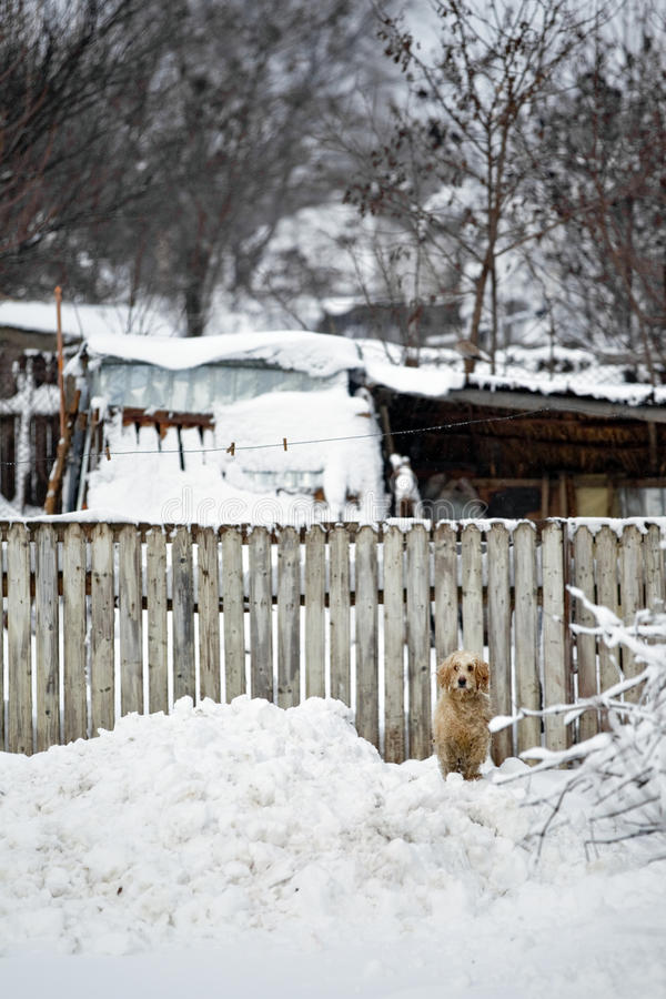 Dog in snow. Photo of a barking dog in the snow, near at wooden fence stock photography