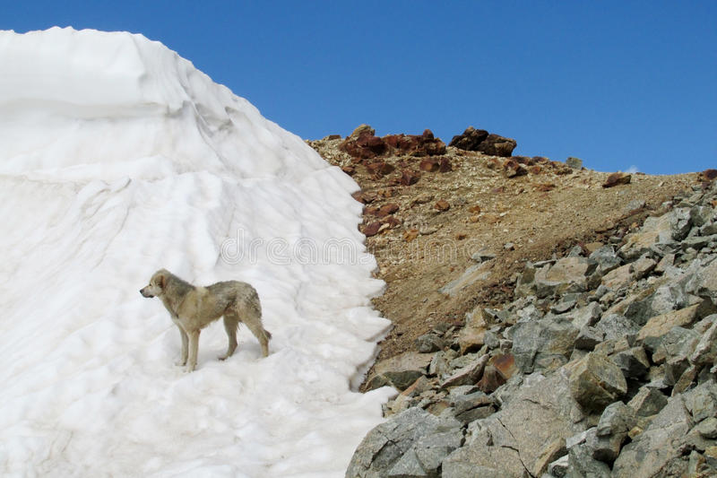 A dog at snow and rocky mountain range. Mountain glaciers and peaks landscape. Mountain rock peaksand snow. High peaks covered with blue ice and white snow royalty free stock photography