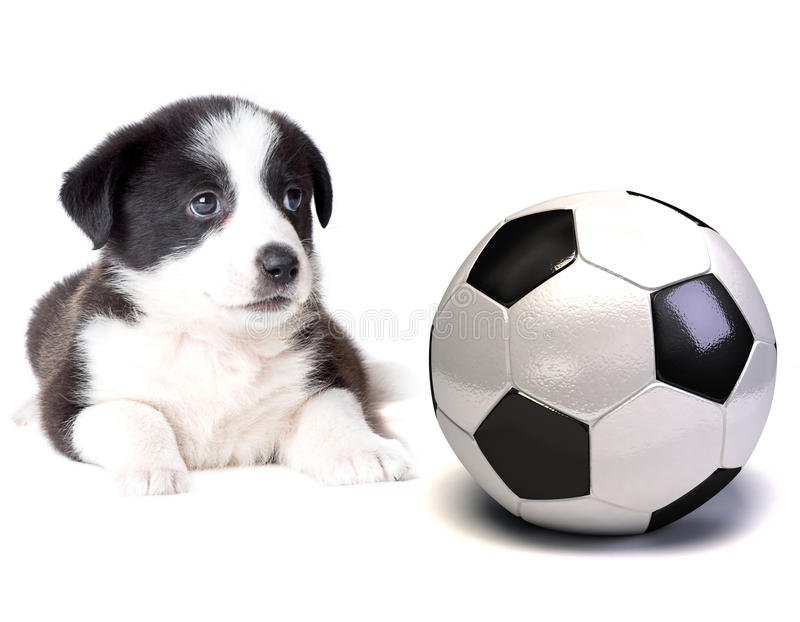 Dog and soccer ball. On white royalty free stock image